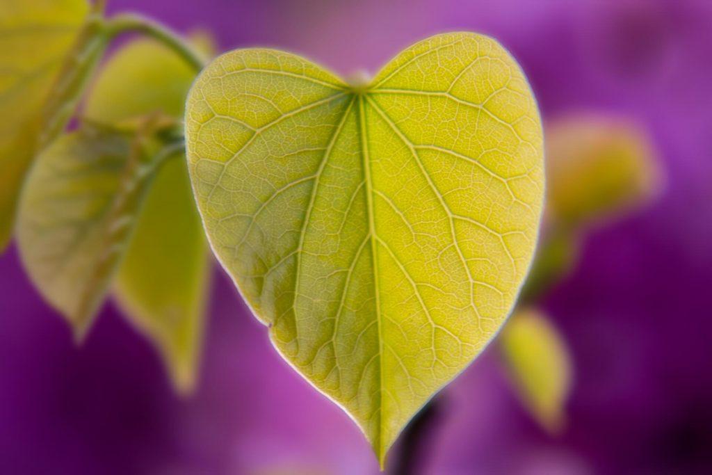 leaf-Cercis Canadensis