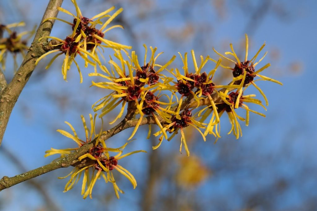 witch-hazel-Hamamelis